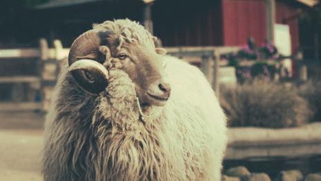 Sheep (David Goehring/Flickr)