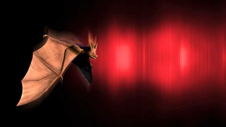 Bat echolocation (SPL)