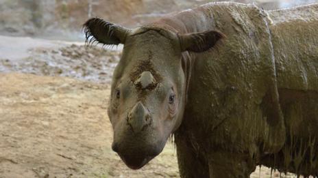 Suci the rhino (Michelle Curley)