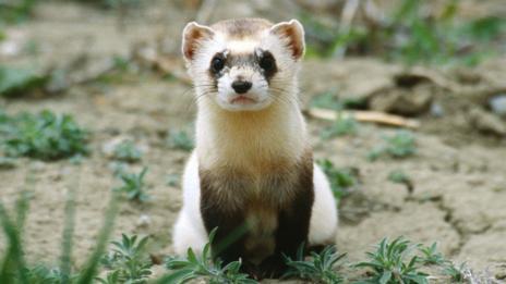 A black-footed ferret (SPL)