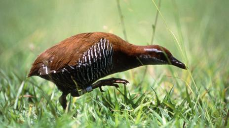 A Guam rail, a strong contender for the world's rarest animal (SPL)