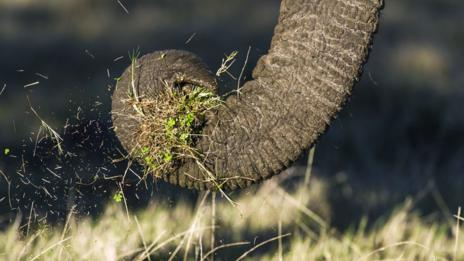 Population numbers of African elephants can be counted by flying overhead (SPL)