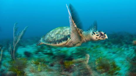 Hawksbill turtle (SPL)