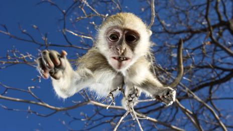 Vervet monkey (Getty Images)