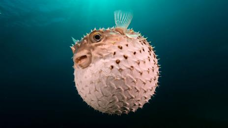Pufferfish (Thinkstock)