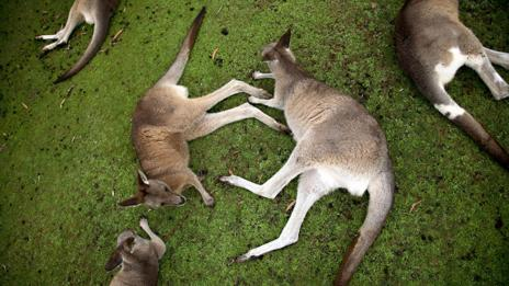 Wallabies (Science Photo Library)