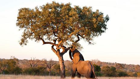 An elephant feeding from the alcoholic marula tree (Thinkstock)