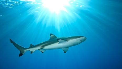 Some female sharks isolated from males can become pregnant (Thinkstock)