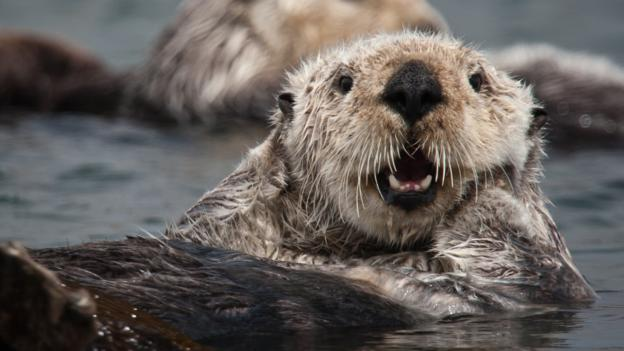 Southern sea otter (Credit: Michael Baird/Getty)