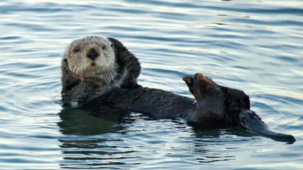 Grooming otter (Credit: Kristin Conrad)