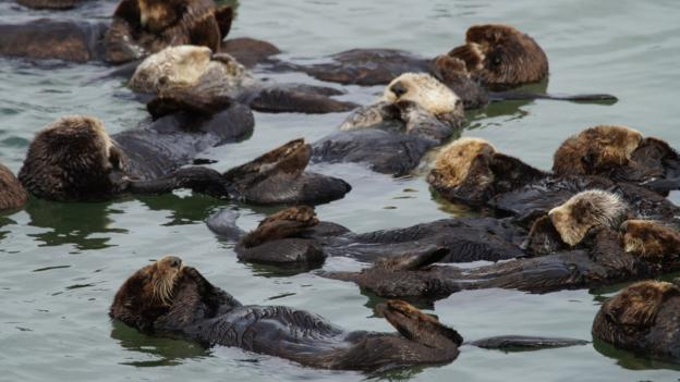 Raft of sleeping otters (Credit: Kristin Conrad)