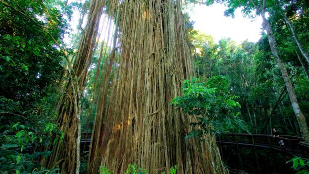 The Curtain Fig Tree (Credit: Paul Dymond/Getty)