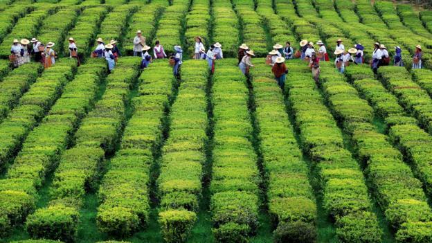 Europe's only tea plantation (Credit: visitazores.com)