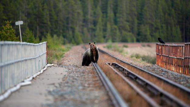 Grizzly bear on the tracks, Banff National Park (Credit: John E Marriott/Getty)