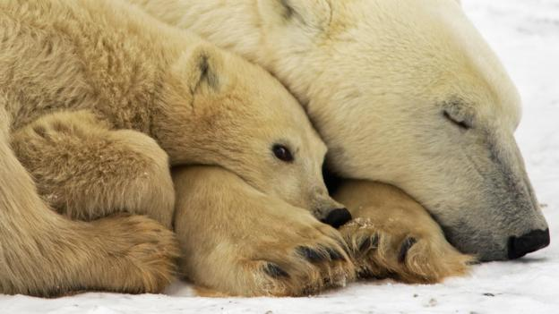 Polar bears outside Churchill, Manitoba (Credit: AFP/Getty Images)