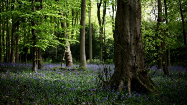 Woodland bluebells on Box Hill (Credit: Getty Images)