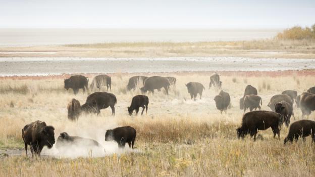 Way of the buffalo (Credit: Philip Lee Harvey)