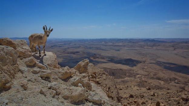 A wild mountain goat (Credit: Dan Savery Raz)
