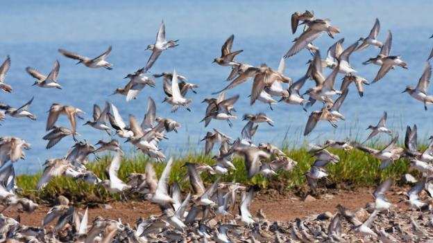 Flocks of sandpipers, Evangeline Beach (Credit: Laszlo Podor Photography/Getty)