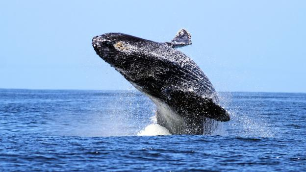 Humpback whale breaching (Credit: Maureen P Sullivan/Getty)