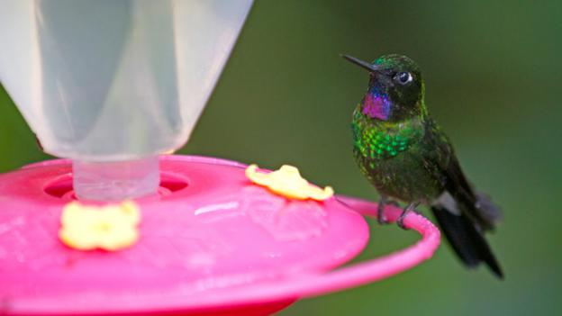 Hummingbirds, Ecuador's natural treasure (Credit: Andrew Bain)