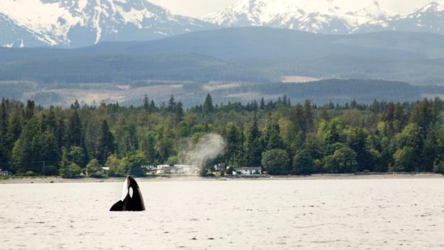 A killer whale off the coast of Tofino (Credit: Cavan Images/Getty)