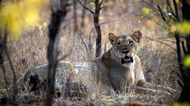 A lioness (Credit: Martin Bureau/AFP/Getty)