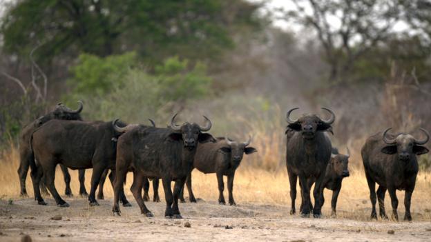 African buffalos (Credit: Martin Bureau/AFP/Getty)