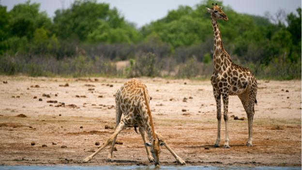 Giraffes (Credit: Martin Bureau/AFP/Getty)