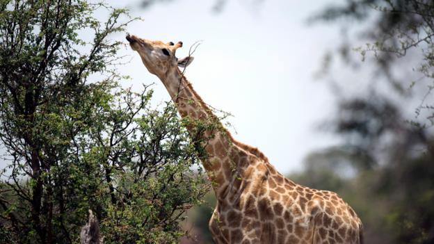 A giraffe (Credit: Martin Bureau/AFP/Getty)