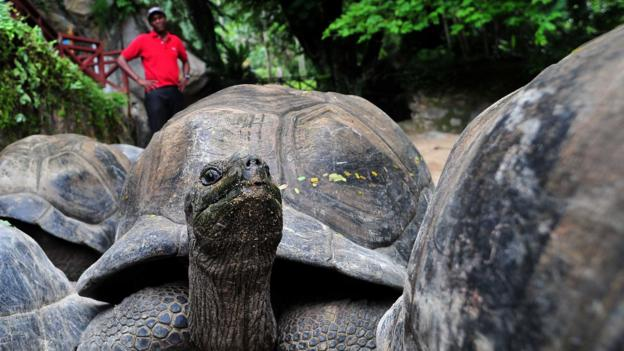 Giant tortoises at the botanic garden on Mahe (Credit: Alberto Pizzoli/AFP/Getty)