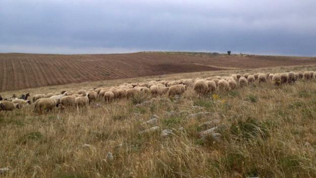 Sheep in the fields outside Altamura (Credit: Laura Kiniry)