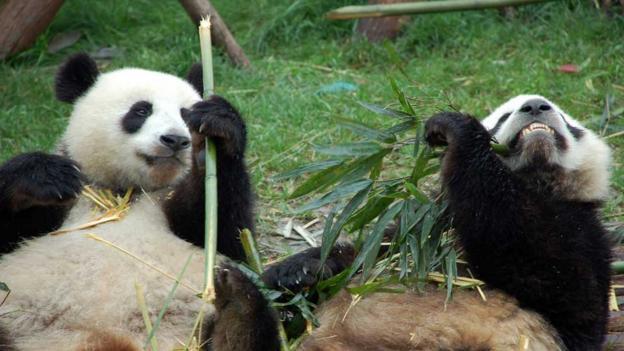 Giant pandas (Credit: CC Ian Carvell)