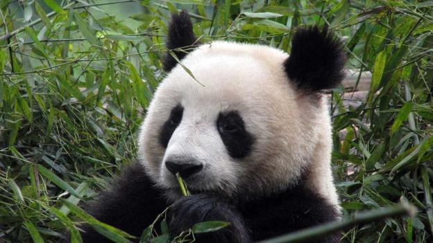 A giant panda (Credit: CC Wilson Loo)