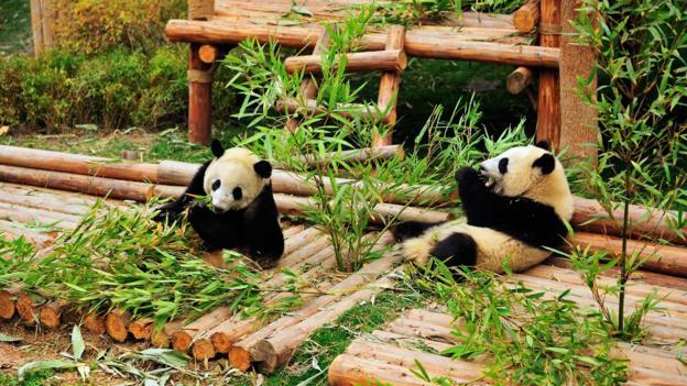 The Research Base of Giant Panda Breeding in Chengdu (Credit: Wibowo Rusli/LPI/Getty)