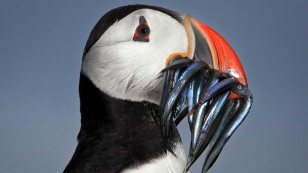 Beaks brimming with food (Credit: Dan Kitwood/Getty)