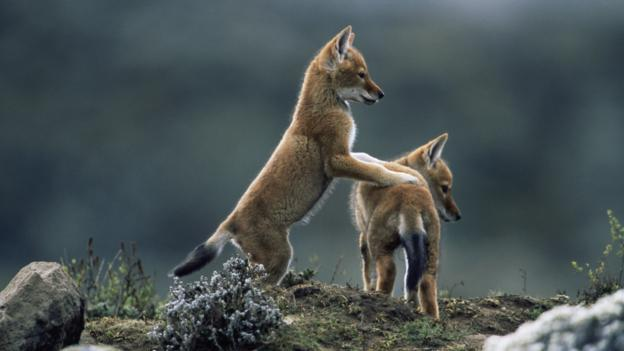 Ethiopian wolf pups (Credit: Anup Shah/Getty)