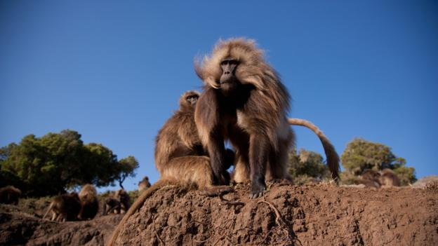 Gelada baboons (Credit: David Du Plessis/Getty)