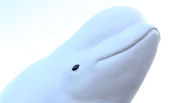 Resident beluga whales (Credit: Graeme Green)