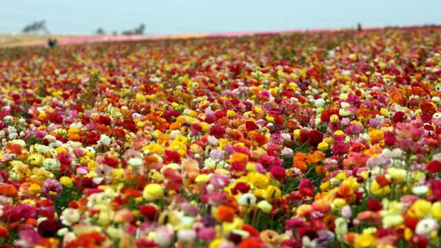 The Flower Fields in Carlsbad (Credit: Gabriel Bouys/AFP/Getty)