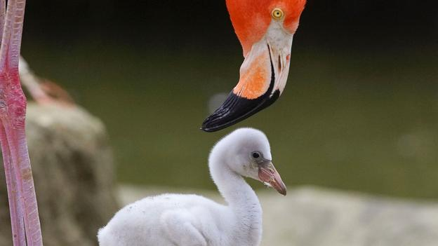 A Caribbean flamingo chick at the San Diego Zoo (Credit: Ken Bohn/San Diego Zoo via Getty)