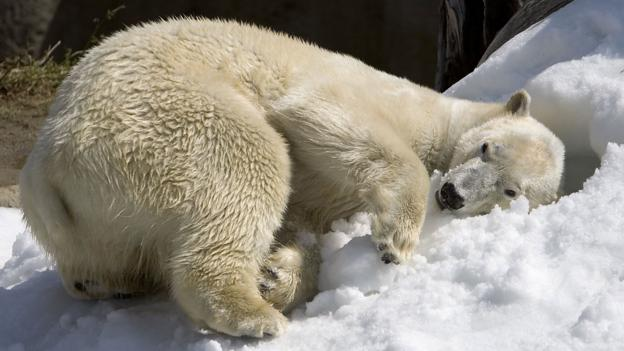 A polar bear at the San Diego Zoo (Credit: Tammy Spratt/San Diego Zoo via Getty)