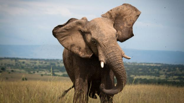 An elephant charges a safari vehicle in the Serengeti (Credit: Colleen Clark)