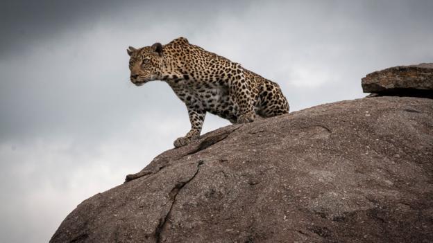 A leopard surveys its prey (Credit: Colleen Clark)