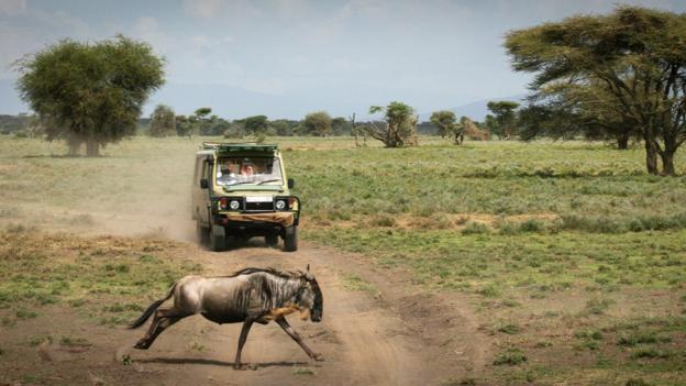 A wildebeest leaps past a safari vehicle (Credit: Colleen Clark)