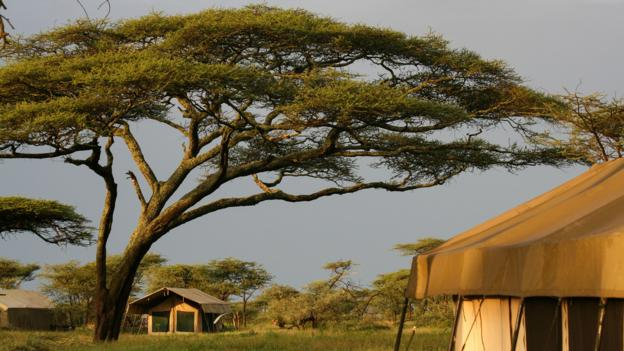 Acacia trees tower over tents at Olakira Camp (Credit: Colleen Clark)