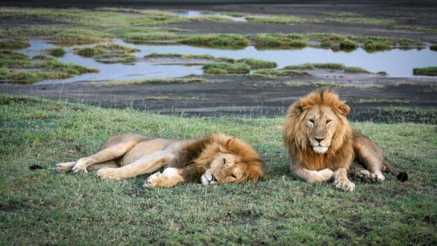Lions relax in the late afternoon in the southern Serengeti (Credit: Colleen Clark)