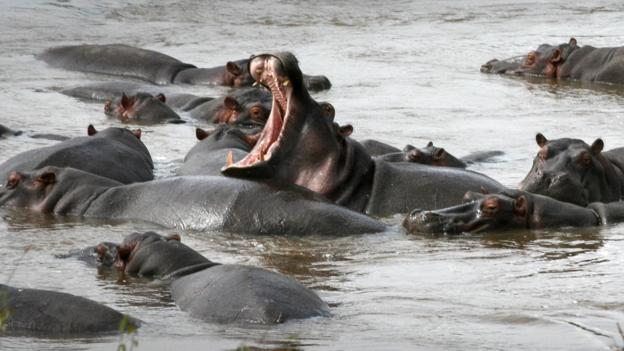 Pods of hippos cool off in the Mara River (Credit: Colleen Clark)