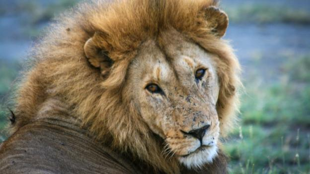 Seeing lions up close (Credit: Colleen Clark)