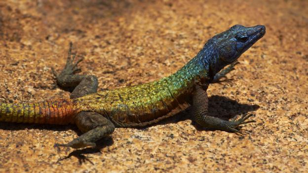 Psychedelic coloured lizards (Credit: Davidwallphoto/Getty)